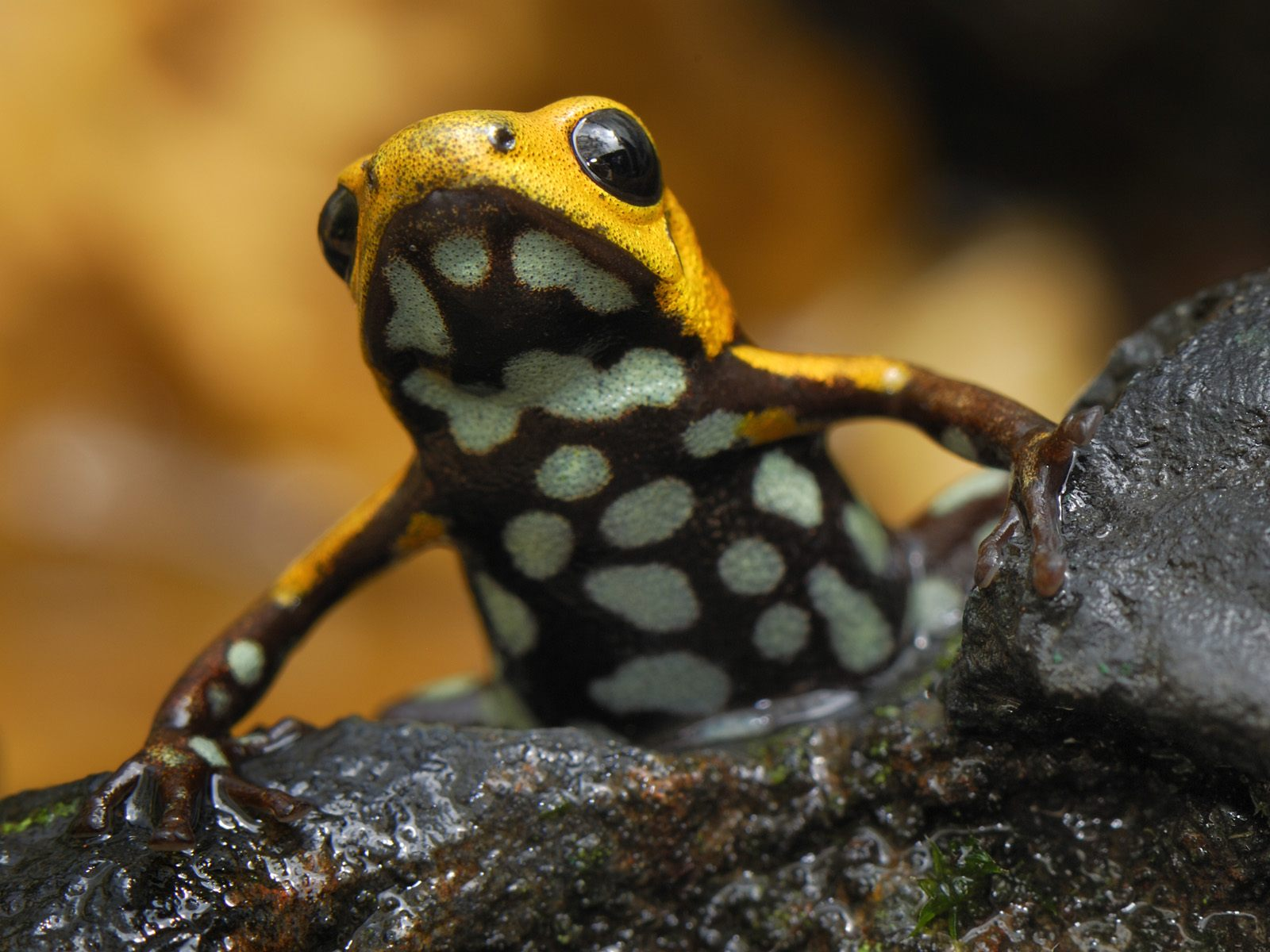 Yellow and Black Frog 01