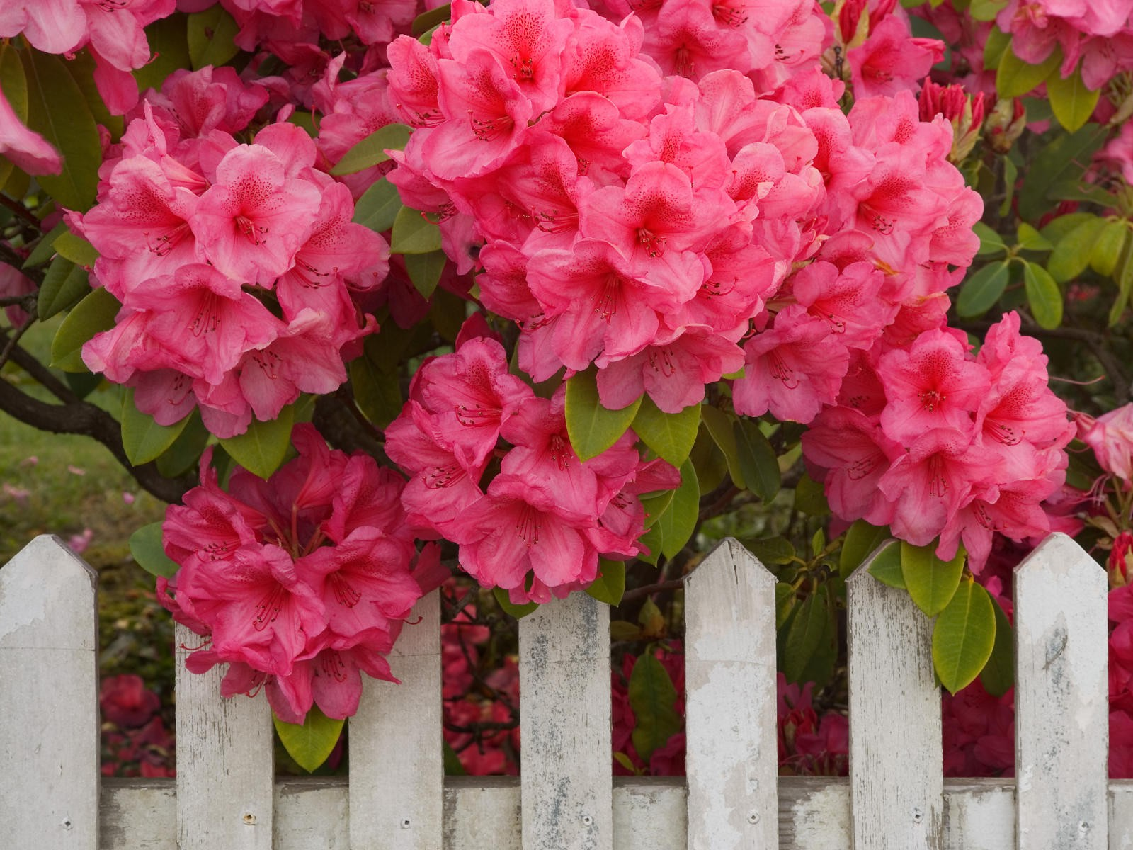 Rhododendron and Fence, Reedsport, Oregon