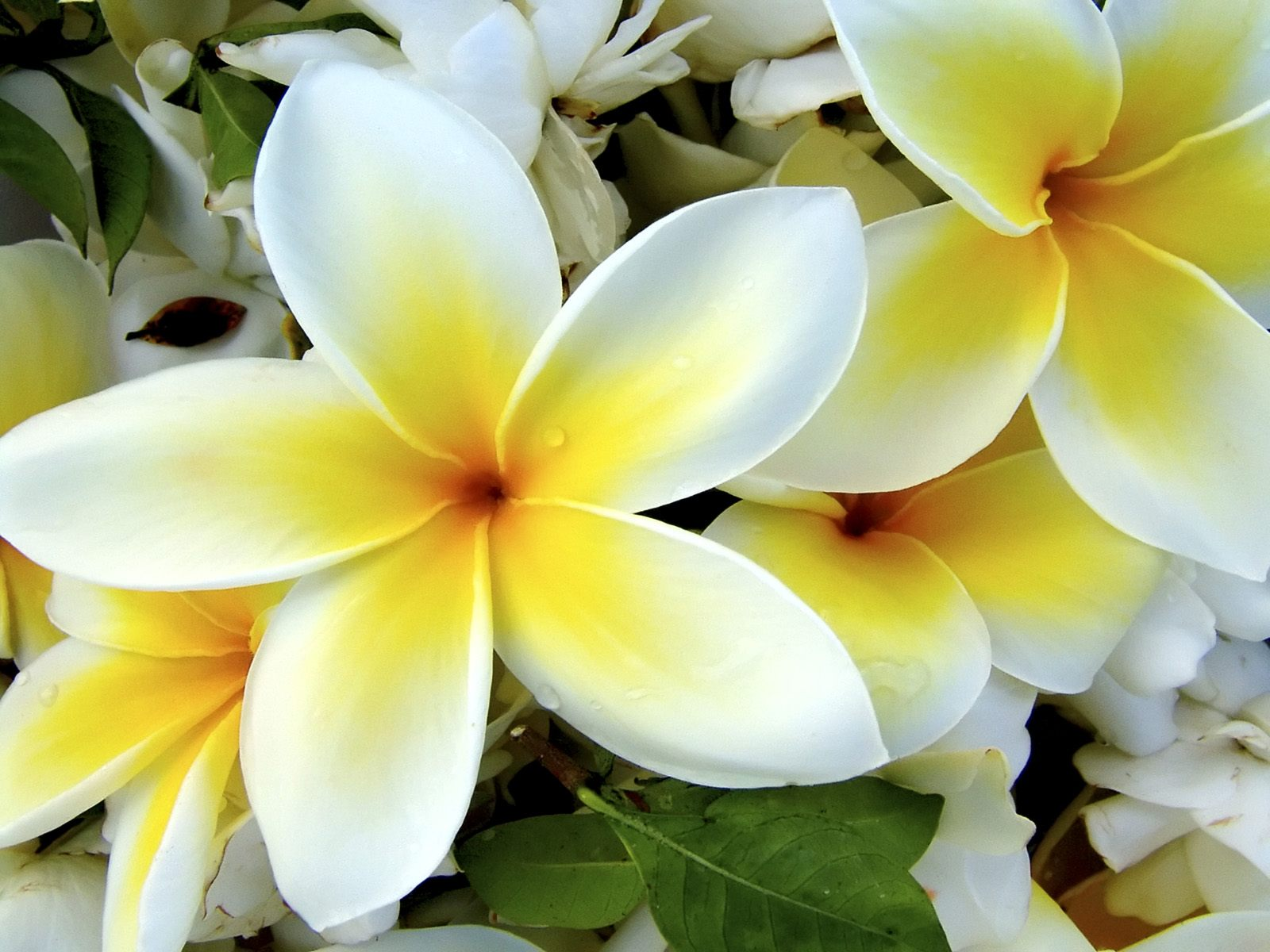 Tropical Plumeria Flower