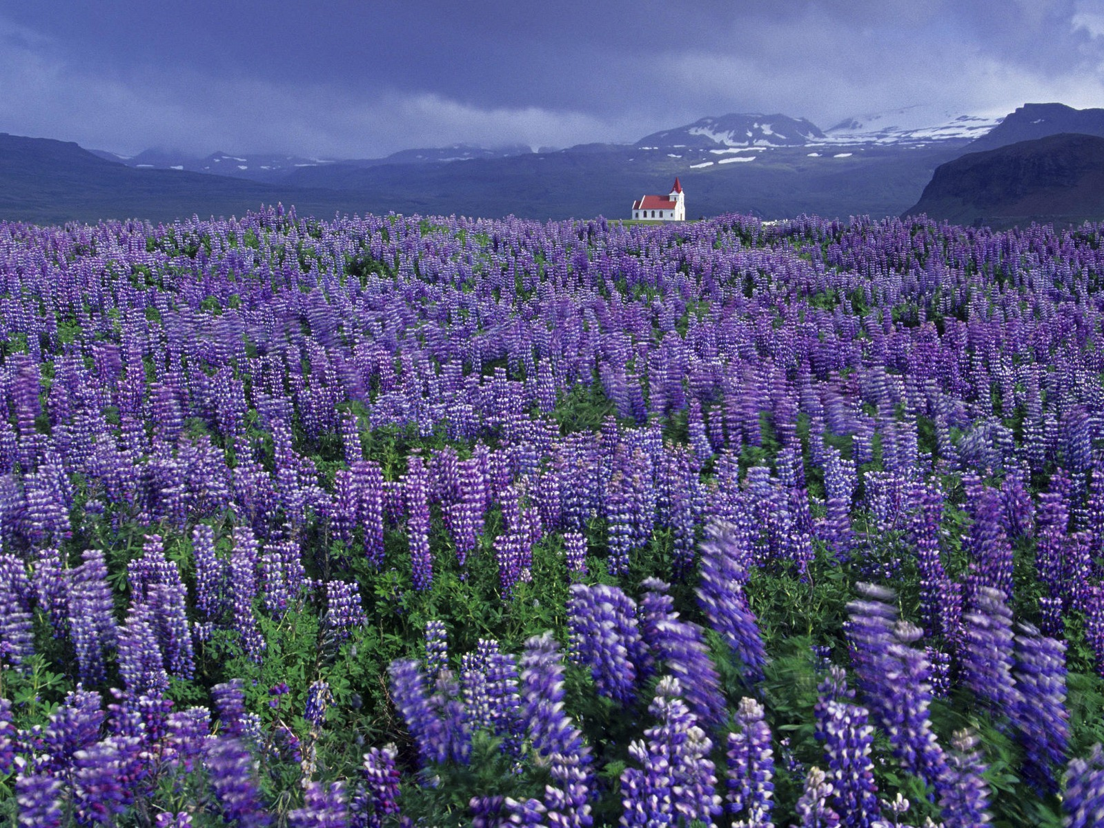 Wild Lupine and Church, Near Hellissandur, Snaefellsnes Peninsula, Iceland