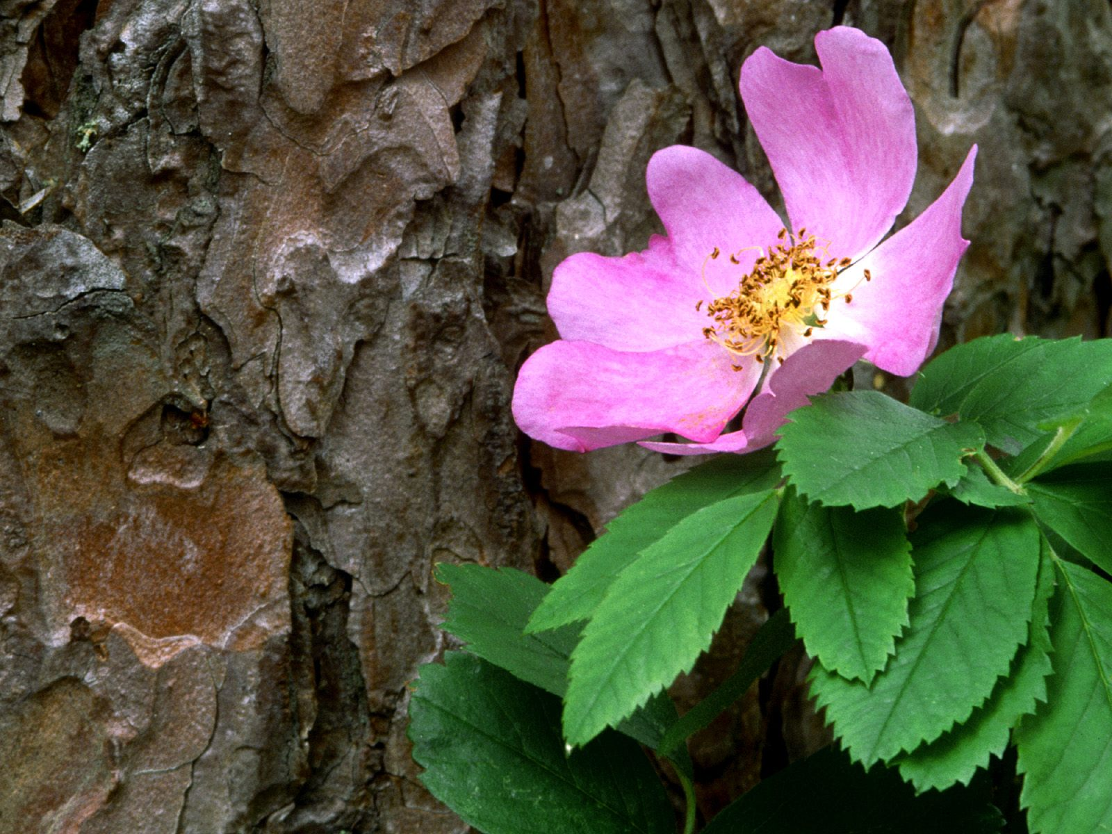 Wild Rose Against a Red Pine, Canada