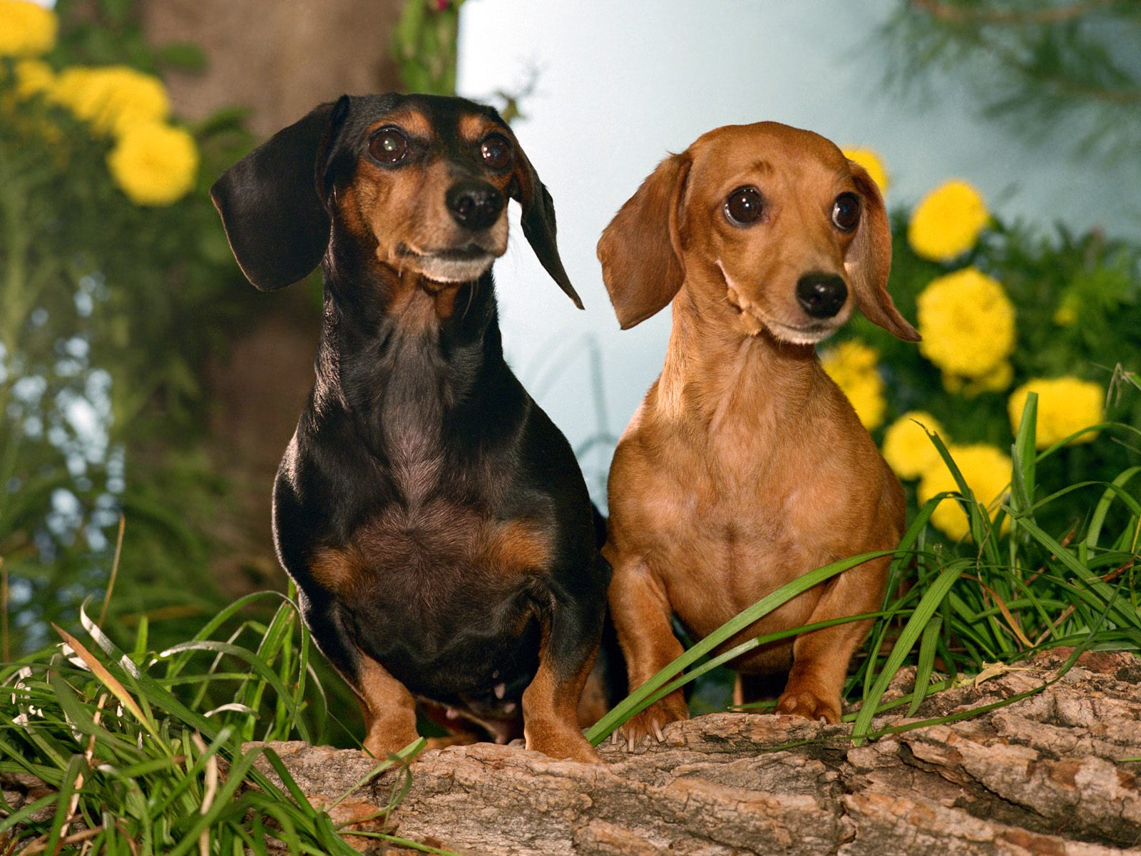 Winston and Maggie, Dachshunds