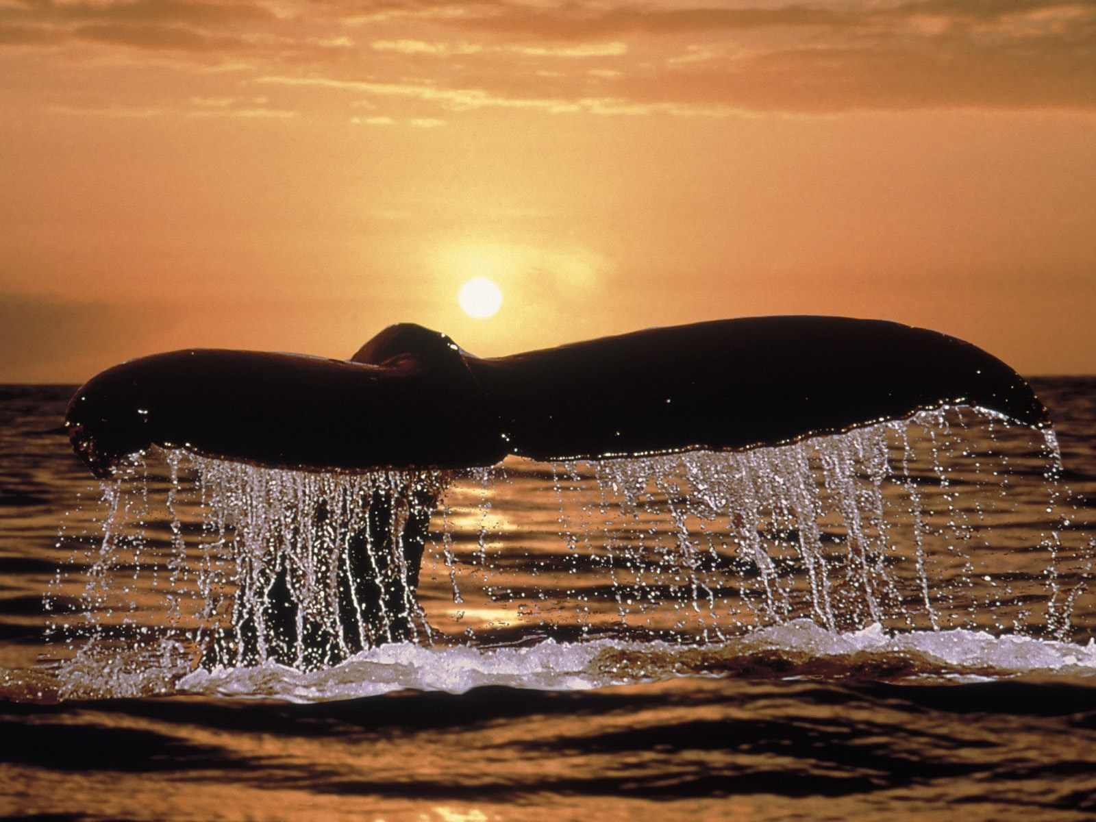 Humpback Whale Tail Wallpapers, Photos, Pictures and Backgrounds